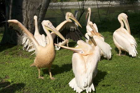 a flock of birds pelicans on the river photo