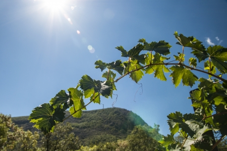 brush ripe grapes on solar plantations photo
