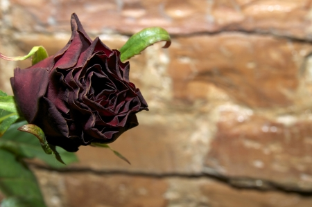spurious: Rose flower against a brick wall