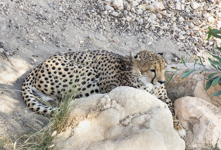 cheetah in the wild africa photo