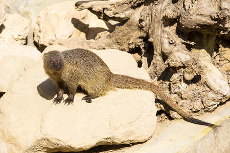 mongoose in the wild photo