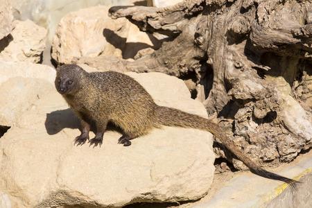catlike: mongoose in the wild Stock Photo