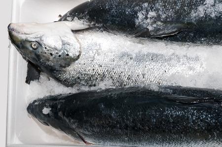 fresh frozen salmon in a plastic box photo