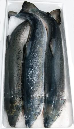 fishy: fresh frozen salmon in a plastic box