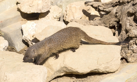mongoose: mongoose in the wild Stock Photo