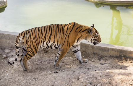 tiger in the wild in Africa Stock Photo