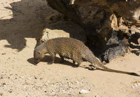 catlike: mongoose in the wild national nature nobody Stock Photo