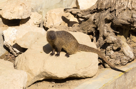 mongoose in the wild national nature nobody photo