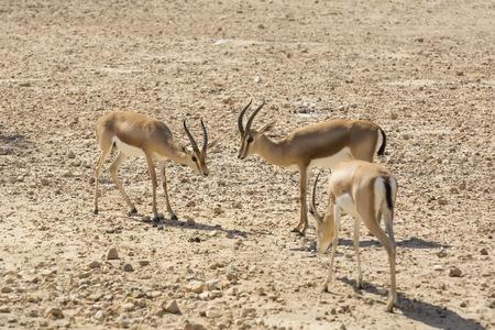 horns: Young antelope on desert background horns impala