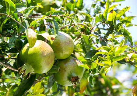 incarnadine: pomegranate fruit ripen on the tree branch