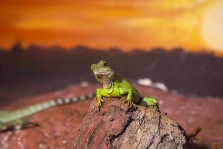 saurian: live wild reptiles lizards shot close-up in nature