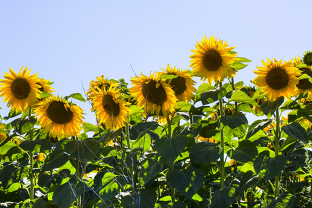 maturing field with sunflowers summer Stock Photo