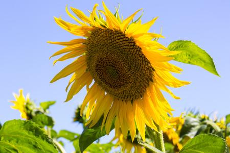 Maturing field with sunflowers summer