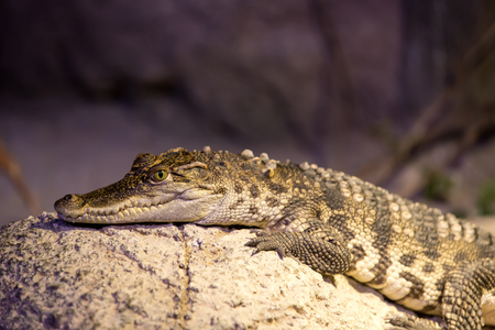 reptile: small alligator crocodile reptile resting in nature Stock Photo