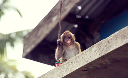 Monkey on the roof of a residential building in Asia Stock Photo