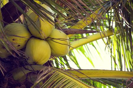 tropics: coconut grove with mature coconuts summer in the tropics