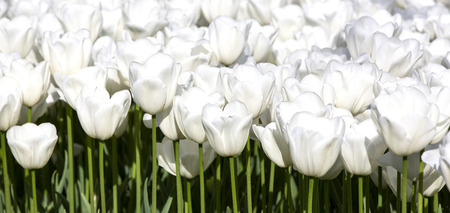 white blossom: bed of tulips growing in spring garden tulips Stock Photo