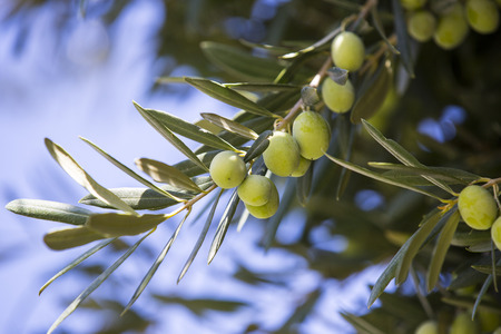 gro: Fruit of the olive tree Stock Photo
