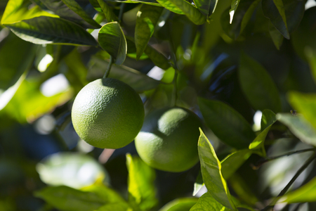 Orange tree with fruits ripen in the garden Stock Photo
