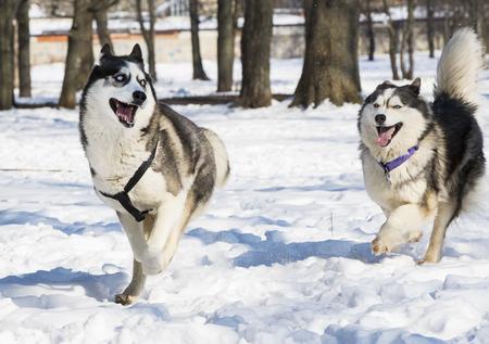Siberian husky dogs for a walk in the winter park. Archivio Fotografico