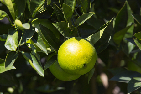 Fruits of citrus orange tree branches closeup shot.