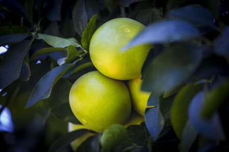 Fruits of citrus orange tree branches close up shot.