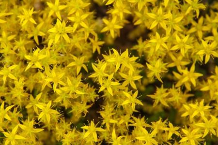 acre: Goldmoss Stonecrop (Sedum acre) flower