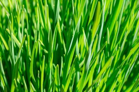 gramma: Green grass