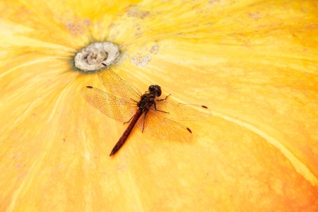 vulgatum: Sympetrum vulgatum  dragonfly on a pumpkin