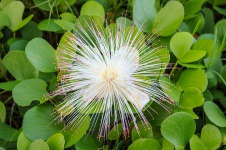 barringtonia: Barringtonia asiatica flower on a green grass.