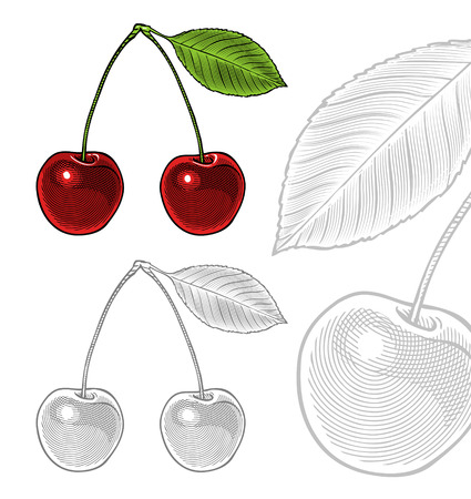 sour: illustration of sour cherry with leaf in vintage engraving style