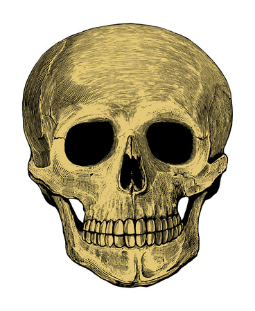 Human skull in engraved style                              Vector