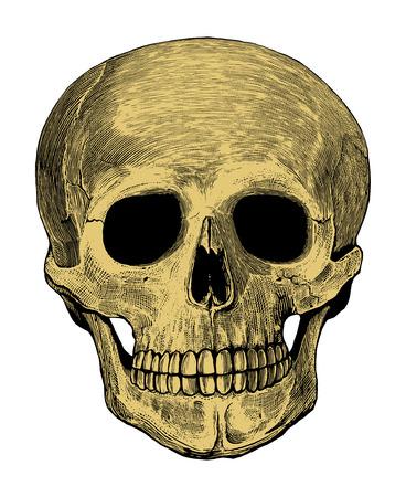 skeleton anatomy:   Human skull in engraved style
