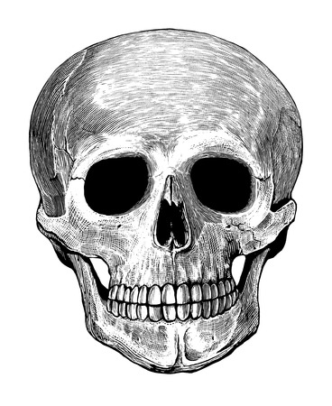 Human skull in engraved style   Vector illustration, isolated, grouped, transparent background                               Vector