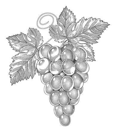 Grapes in vintage engraved style   Vector