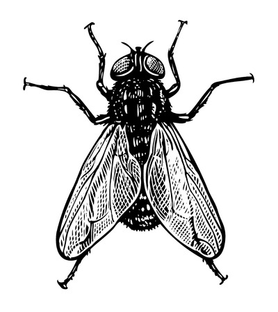 housefly: illustration of fly in vintage engraving style