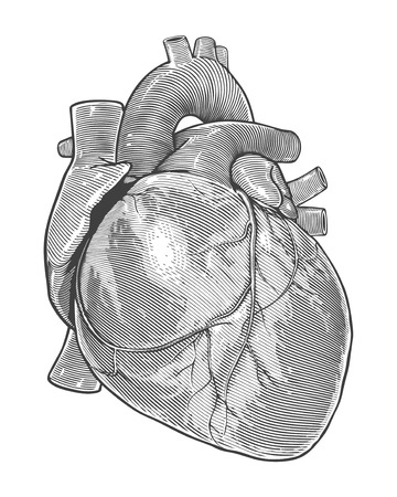 human heart: Human heart in vintage engraving style