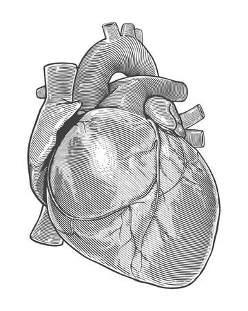 vintage illustration: Human heart in vintage engraving style