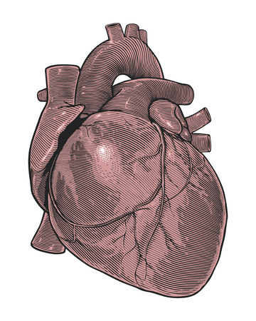 Human heart in vintage engraving style Vector