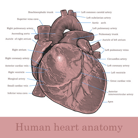 Human heart anatomy  Vector illustration, isolated, grouped, transparent background Çizim