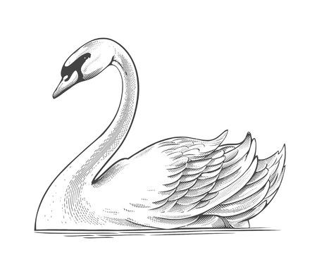 swan lake: Swan in engraving style  Illustration
