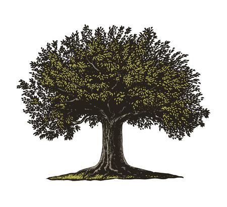 xilografia: Ilustración vectorial de un árbol frutal en el estilo de grabado de la vendimia. Aislado, Grupo fondo transparente.