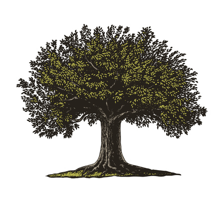 huge tree: Vector illustration of a fruit tree in vintage engraving style. Isolated, Group transparent background. Illustration