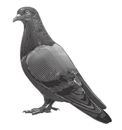 Vector illustration of Dove in vintage engraving style on transparent background.