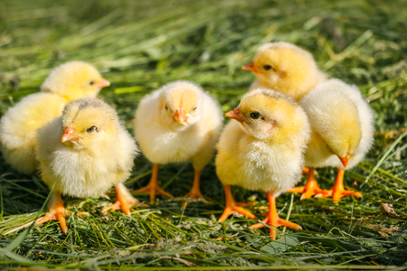 Group of small chickens. Beautiful little chickens on green background. Easter concept image. Yellow chickens on a lawn on a farm. Small chicks in the grass.