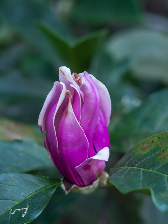 Magnolia. Sick plant. Pink magnolia flower. Beautiful magnolia flower. Blooming Magnolia flower in spring season. Disease on Magnolia.