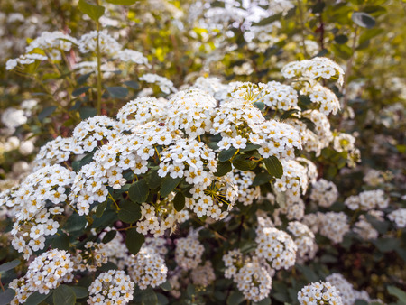 Flowering spiraea or meadowsweet. Branches with white flowers. Close-up spiraea flower. Spring flowering of the Reeve's spiraea (Spiraea cantoniensis) decorative bush. Flower background.