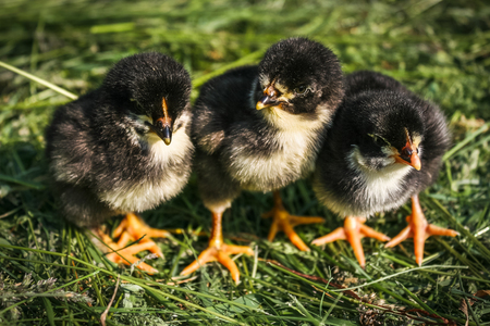 Group of small black chicks. Little black chickens in green grass. Little chickens on the lawn on the farm. Easter concept image.