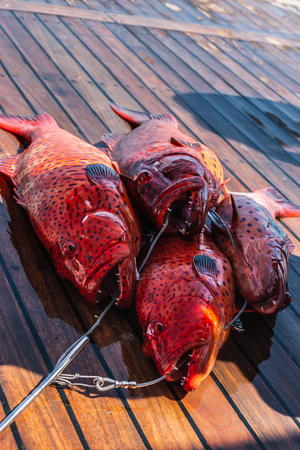 Freshly caught red coral grouper on the deck of a pleasure yacht on the Red Sea. Archivio Fotografico
