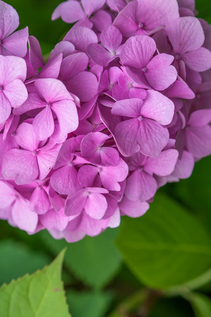 Fresh light Pink Hydrangea with green leaves blossom in the garden in early summer. Delicate background. Stock Photo